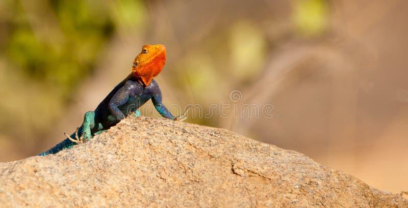 Un lézard mâle d'agame image stock