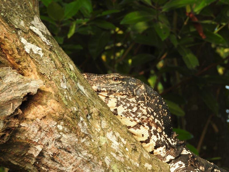 Un l?zard de moniteur ayant un repos sur un arbre ? la jungle de rivi?re de Bentota dans Sri Lanka photographie stock libre de droits