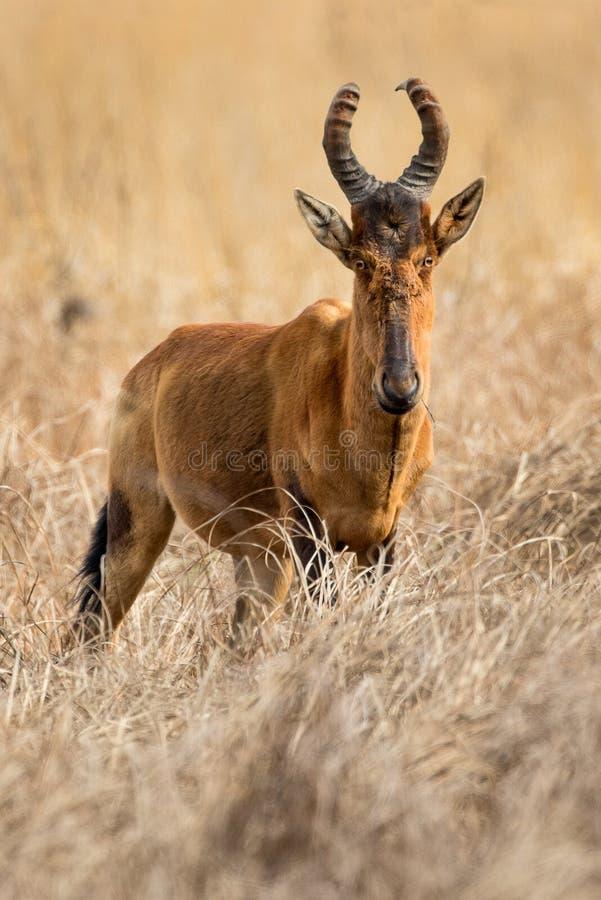Un la más hartebeest rojo fotografiada en Suráfrica imagenes de archivo