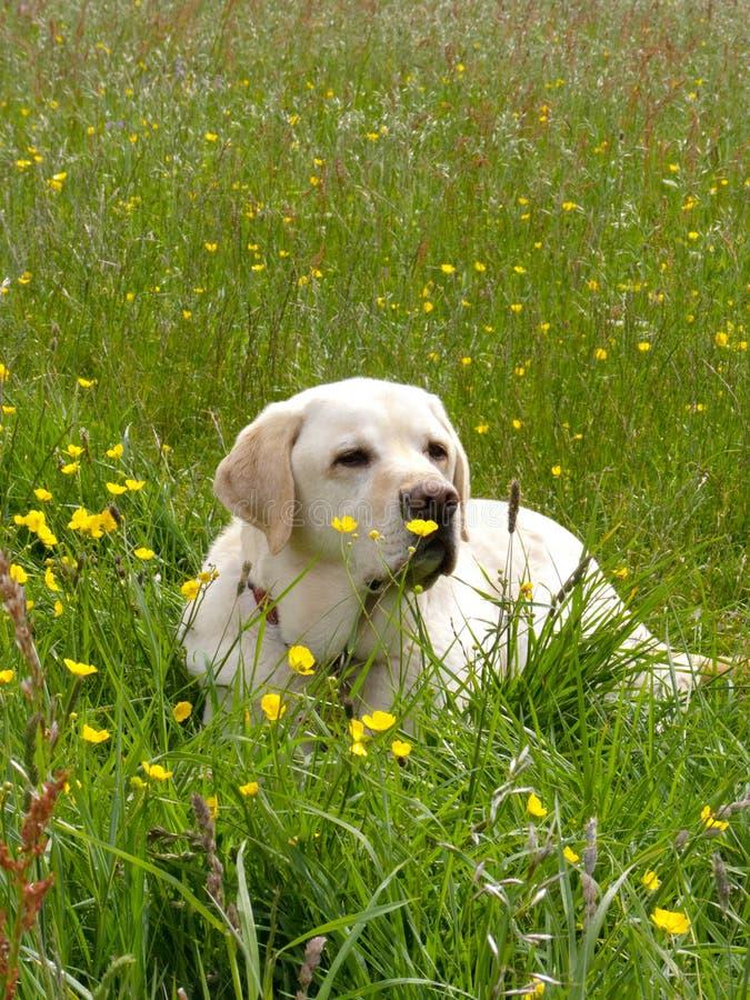 Un Labrador d'or se couchant dans un pré photos stock