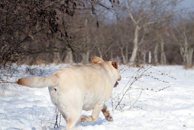 Un labrador giallo nell'inverno nel funzionamento della neve fotografia stock