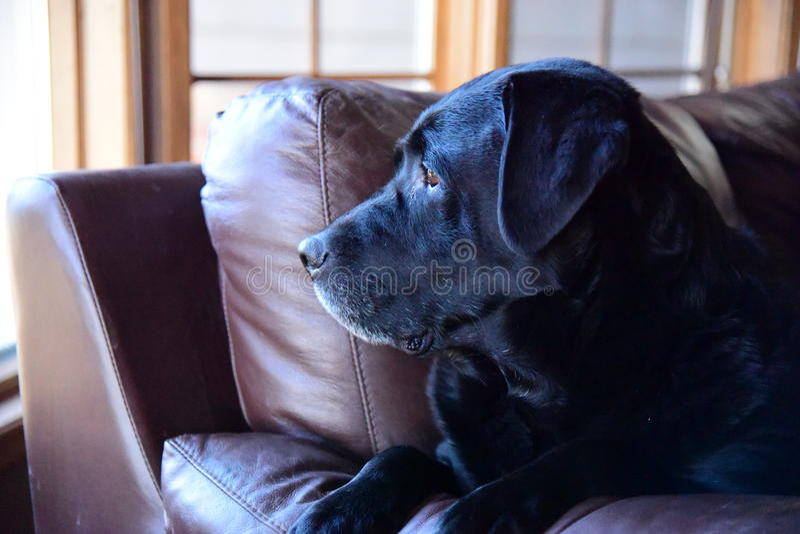 Un Labrador réfléchi (laboratoire) images stock