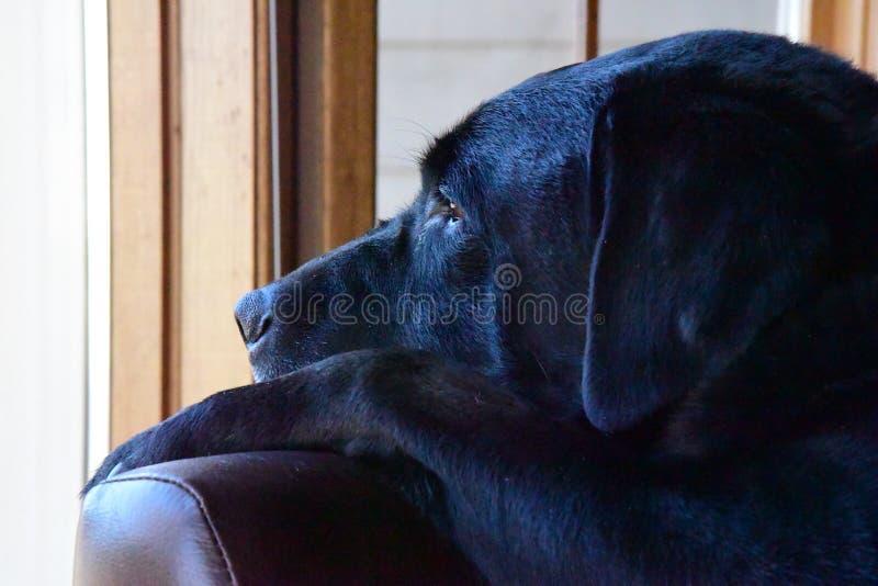 Un Labrador réfléchi (laboratoire) images libres de droits