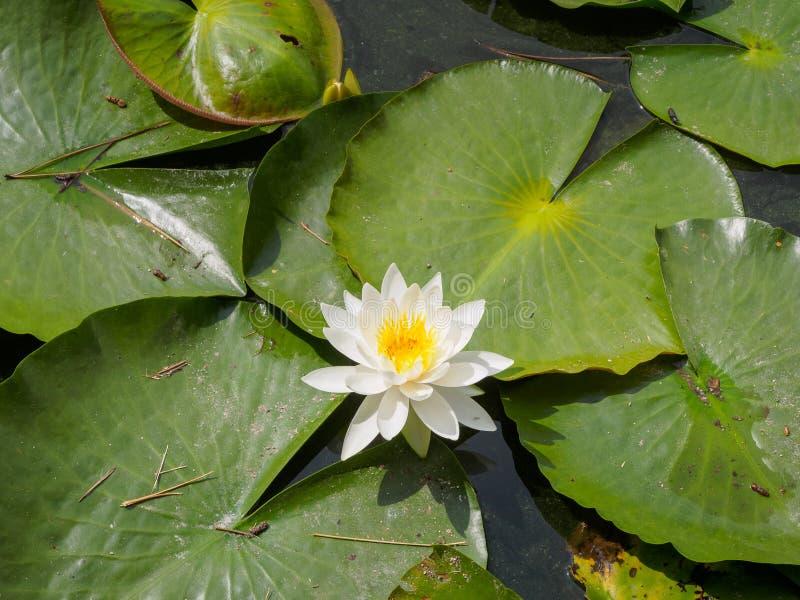 Un lac avec des fleurs de lotus blanc photographie stock libre de droits