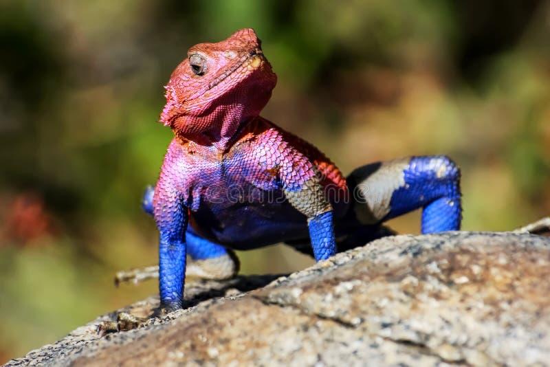 Un lagarto colorido en la sabana africana Parque nacional de Serengeti África imágenes de archivo libres de regalías