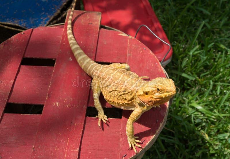 Un lagarto de dragón barbudo fotografía de archivo