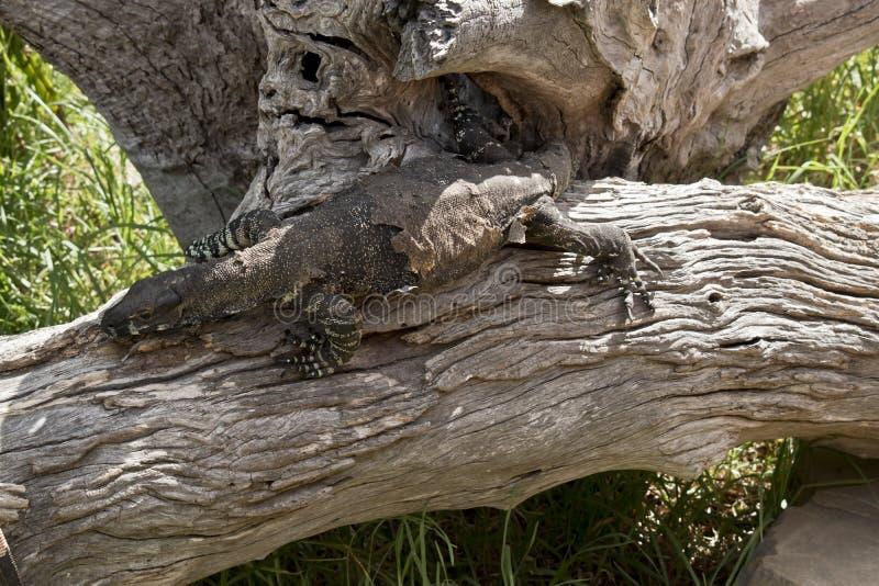 Un lagarto del cordón imagenes de archivo