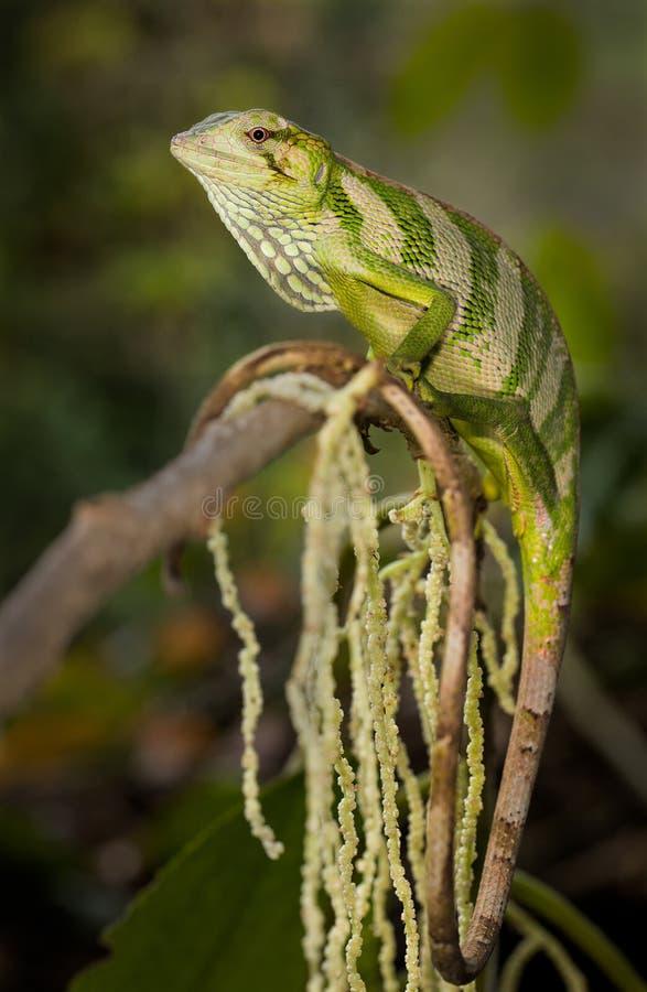 Un lagarto del toldo en un árbol fotografía de archivo