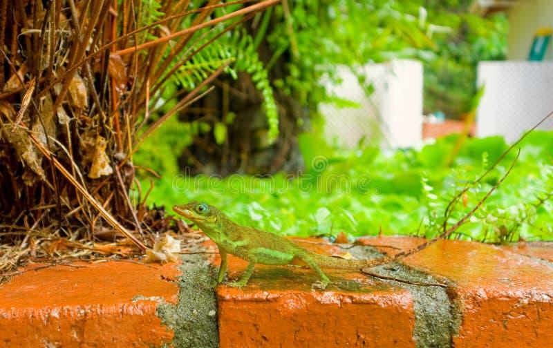 Un lagarto en el Caribe imagen de archivo
