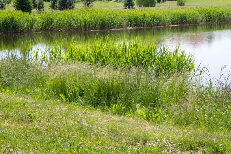Un lago con le canne che crescono intorno immagini stock libere da diritti