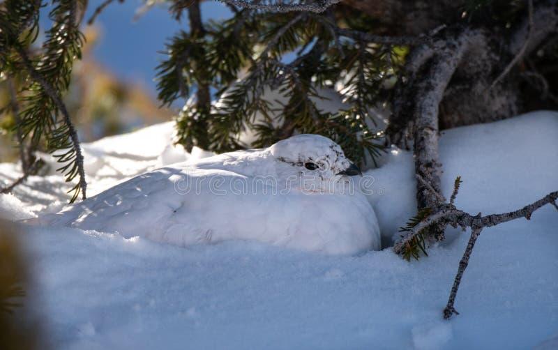 Un lagopède alpin Blanc-coupé la queue dans le repos de plumage d'hiver images stock