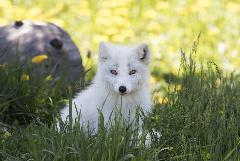 Un lagopus de Vulpes de kit de renard arctique dans l'herbe une journée de printemps dans le Canada photos libres de droits