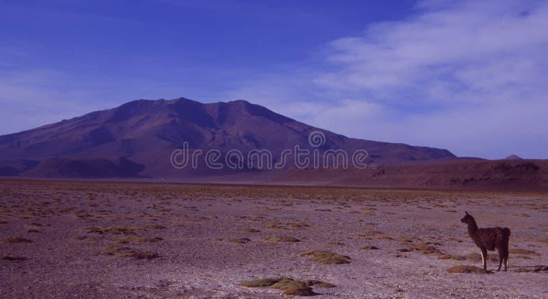 Un lama en el desierto del lago de sal de Bolivia fotografía de archivo