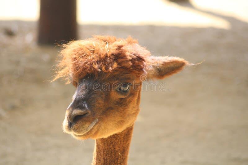 Un lama pelucheux brun images libres de droits