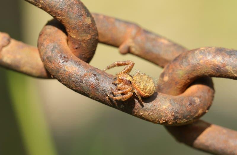 Un lanio imponente de Xysticus de la araña del cangrejo que se encarama en una cadena del metal fotografía de archivo