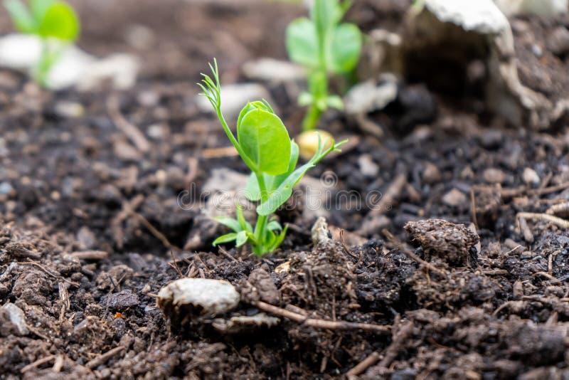 Un lanzamiento del guisante que crece fuera de suelo del estiércol vegetal en un jardín, en la estación de la primavera Utilizado foto de archivo