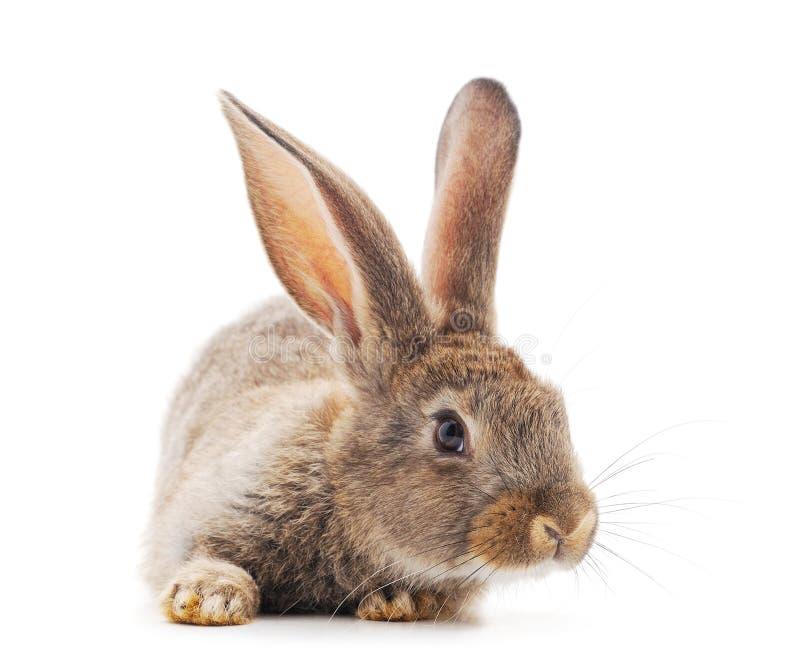 Un lapin brun photo stock