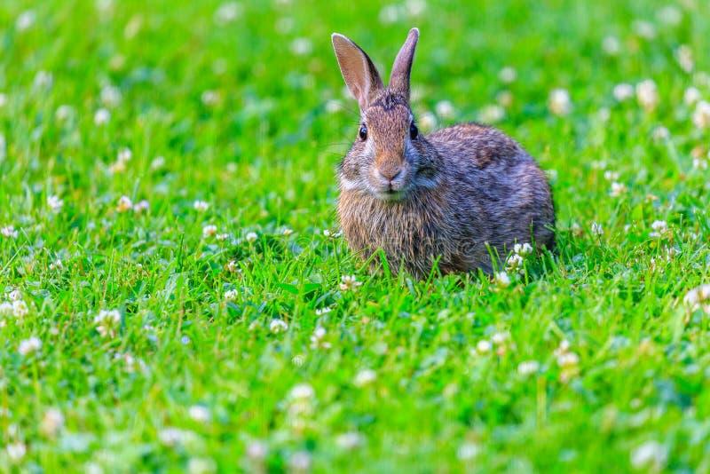 Un lapin de lapin vigilant photographie stock libre de droits