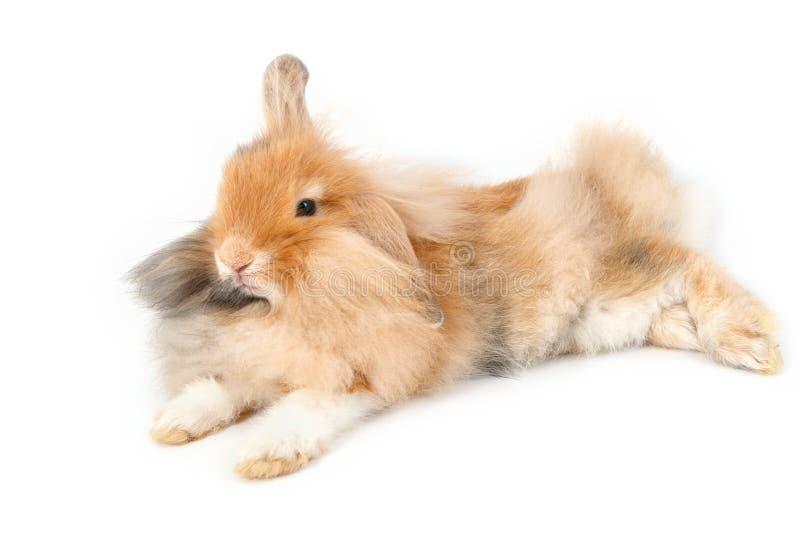 Un lapin de lionhead, d'isolement images libres de droits