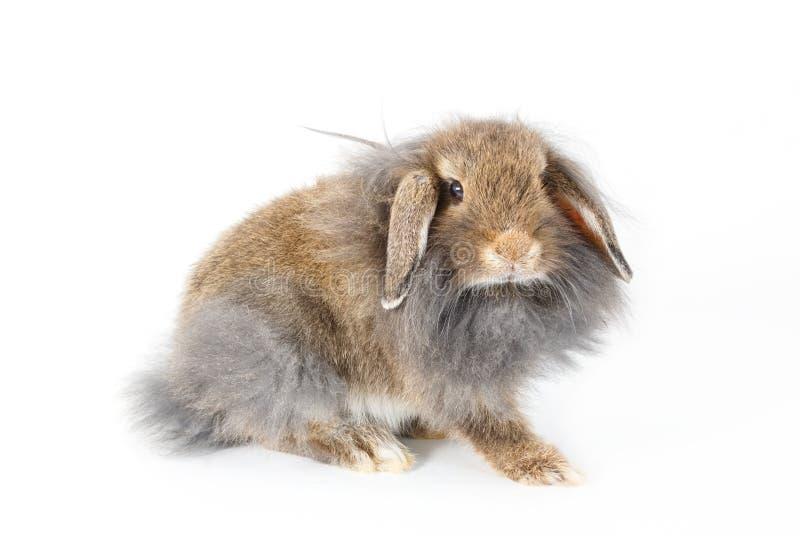 Un lapin de lionhead, d'isolement photo libre de droits