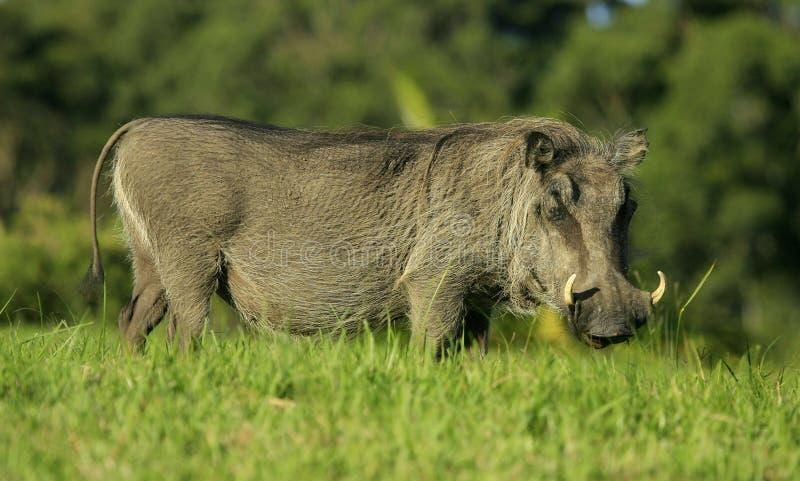 Un lato del ritratto del warthog sopra fotografia stock libera da diritti