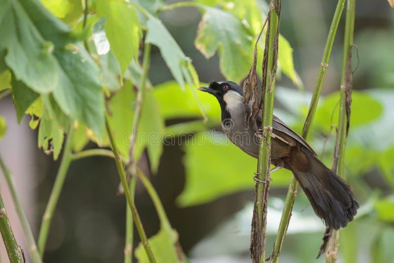 Un laughingthrush throated nero nella foresta immagini stock
