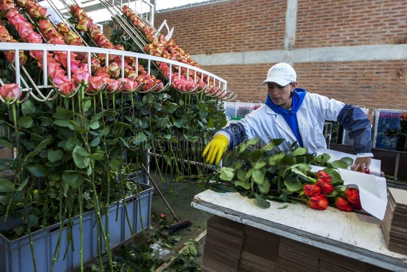 Un lavoratore alla La Compania Rose Plantation nell'Ecuador imballa le rose nella fabbrica di elaborazione fotografie stock