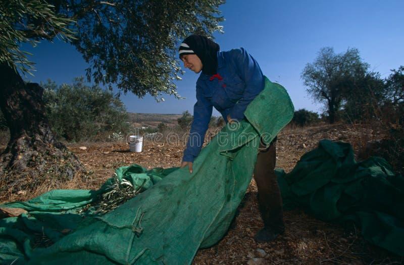 Un lavoro palestinese in un oliveto. fotografie stock libere da diritti