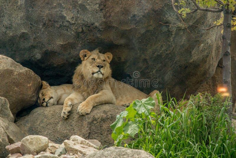 Un león fotos de archivo