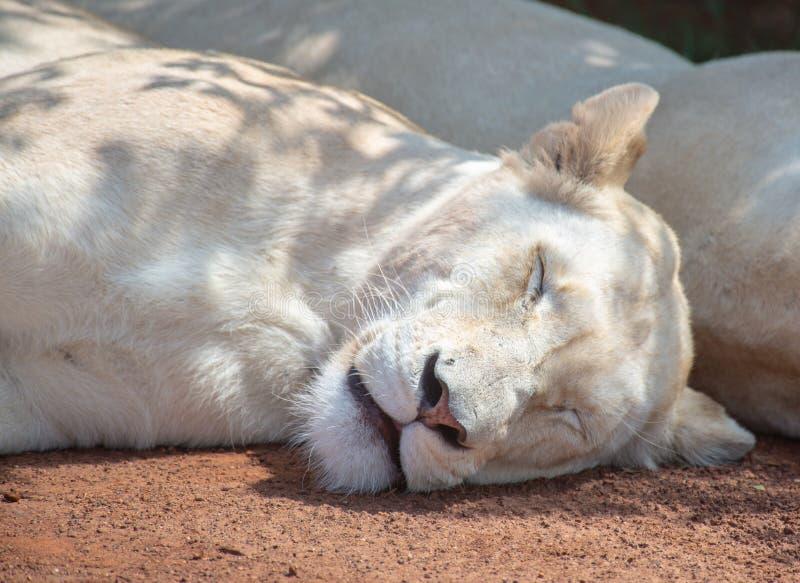 Un león blanco rápidamente dormido fotos de archivo