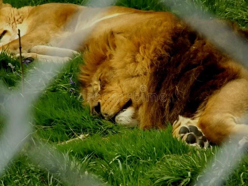 Un león cansado que duerme en el parque zoológico fotos de archivo