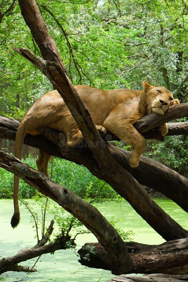 Un león está durmiendo en el árbol fotos de archivo libres de regalías