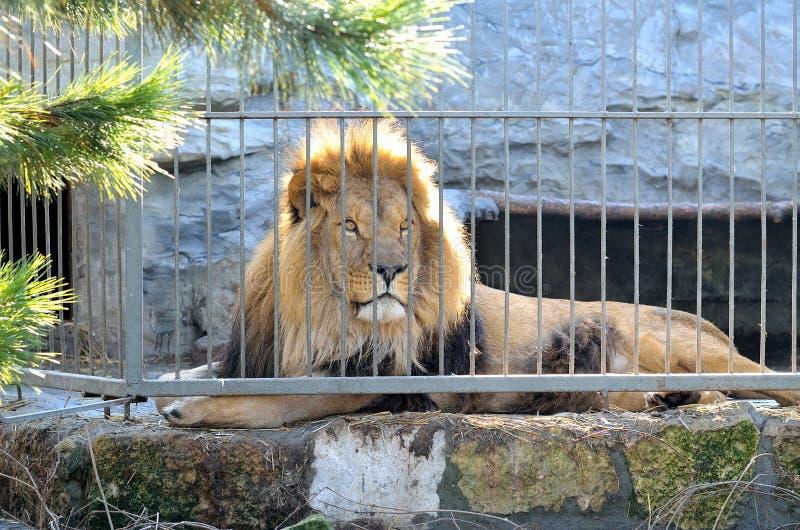 Un león hermoso con una melena mullida imagenes de archivo