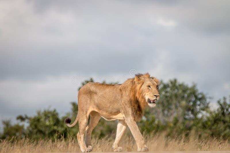 Un león masculino que camina en el camino imagenes de archivo