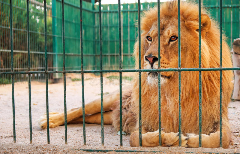 Un león miente en la jaula foto de archivo libre de regalías