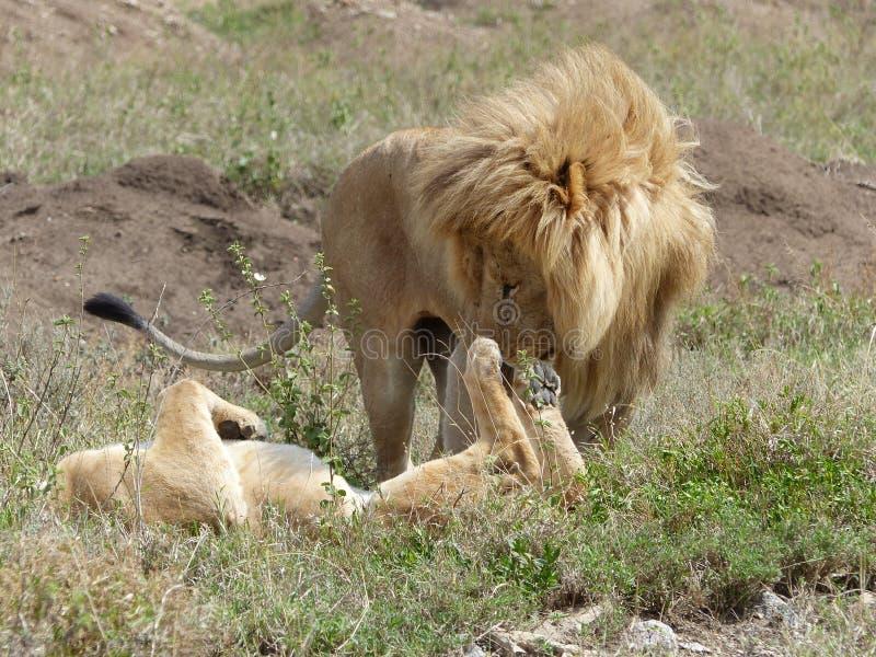 Un león y una leona en amor fotos de archivo