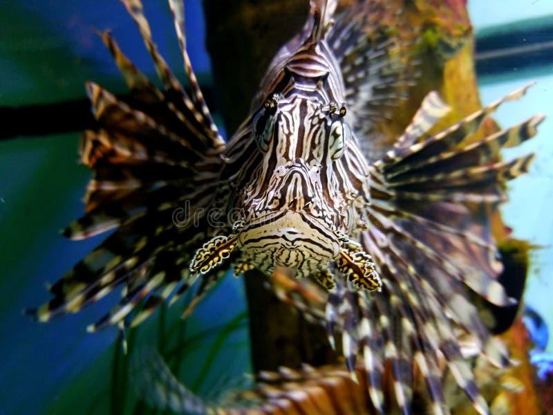 Un le?n Fish imagenes de archivo