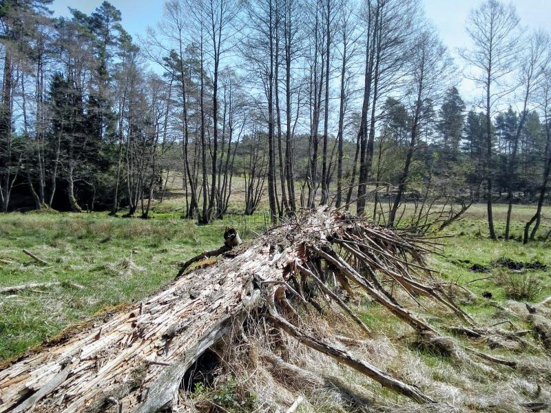 Un legno molto asciutto in foresta fotografia stock libera da diritti