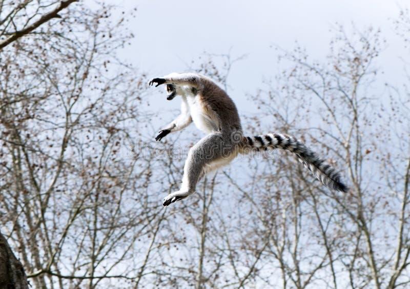 Un lemur ring-tailed images stock