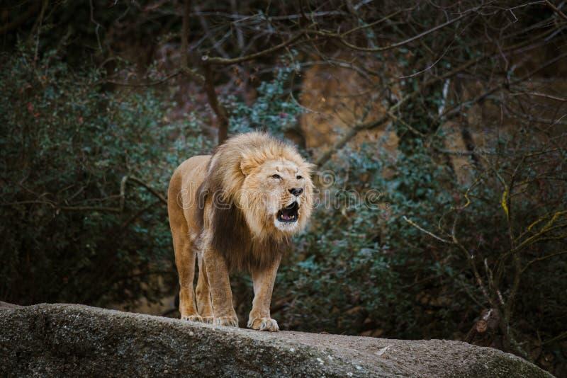 Un leone del maschio adulto esprime l'aggressione, ringhii che mostrano i denti su una pietra nello zoo di Basilea in Svizzera ne fotografia stock libera da diritti