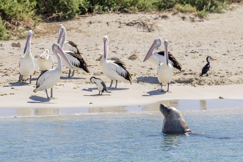 Un leone marino e un gruppo di pellicani sulla spiaggia sabbiosa dell'isola del pinguino, Rockingham, Australia occidentale fotografia stock libera da diritti