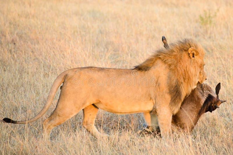 Un leone maschio con la sua preda fotografia stock