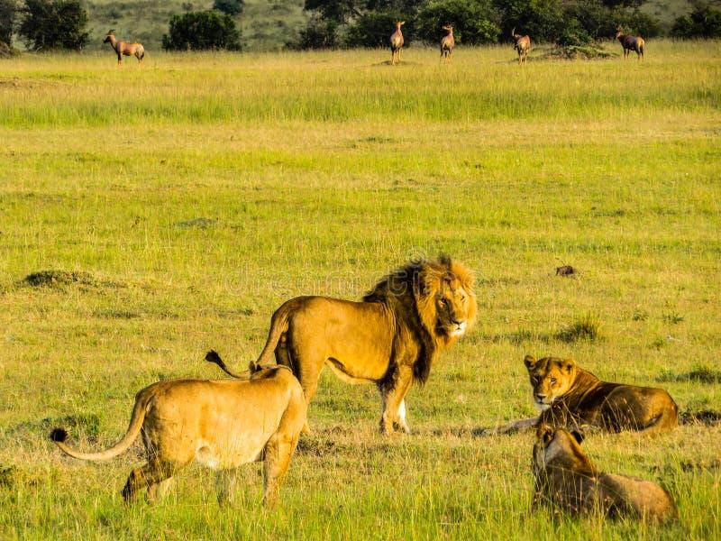 Un leone maschio con tre femmine immagini stock libere da diritti