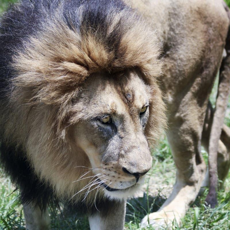 Un leone maschio, panthera Leo, re delle bestie fotografia stock libera da diritti