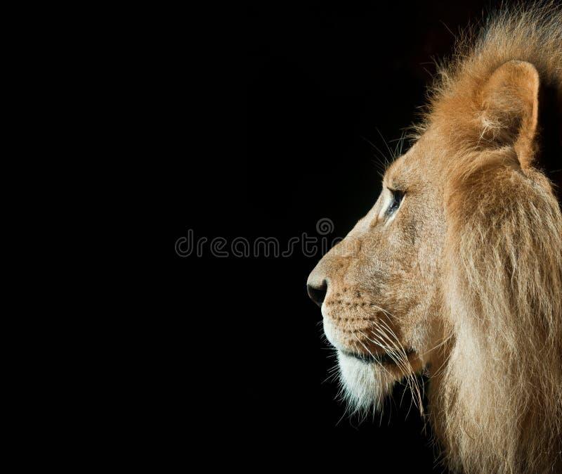 Un leone maschio in un colpo di profilo con fondo isolato fotografia stock