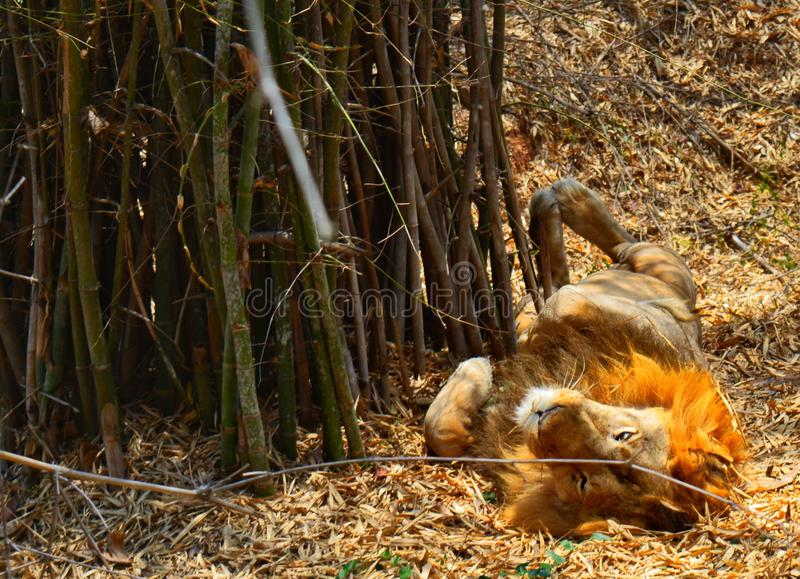 Un leone pigro fotografia stock