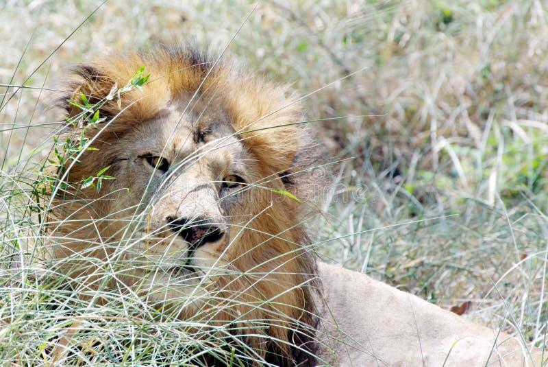 Un leone, sedentesi nell'erba fotografie stock libere da diritti