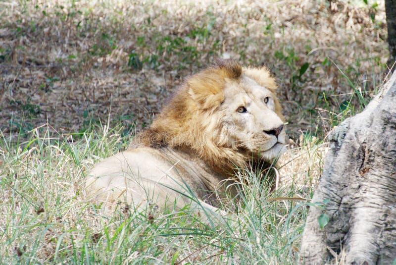 Un leone, sedentesi nell'erba fotografia stock
