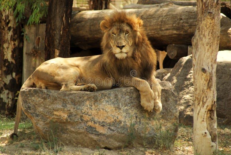 Un leone solo sulle rocce fotografia stock