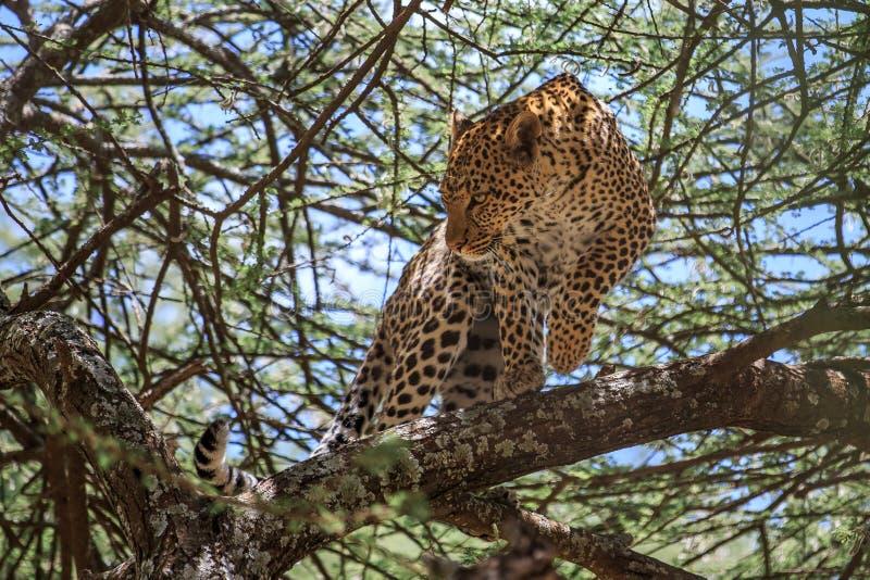 Un leopardo africano in un albero dell'acacia immagini stock libere da diritti